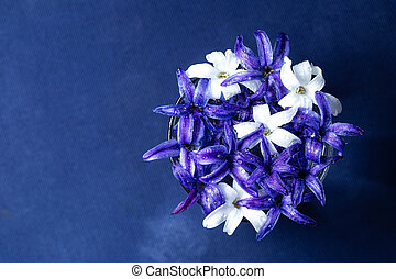 Blue and white hyacinth flowers over blue background