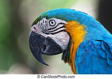 blue-and-yellow, ararauna), macao, (ara