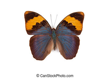 Blue and yellow butterfly Euphaedra neophron isolated