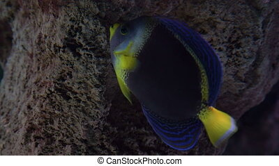 Blue and yellow coloured fish in aquarium searching for food on the rocks. Exotic fish underwater swimming between reef