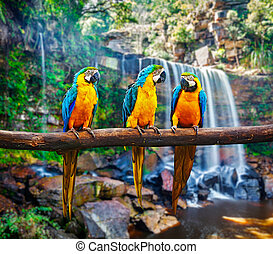 Blue-and-Yellow Macaw Ara ararauna, also known as the Blue-...