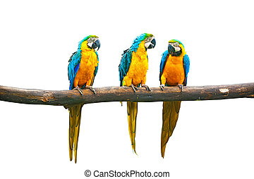 Blue-and-Yellow Macaw (Ara ararauna), also known as the Blue-and-Gold Macaw on branch isolated