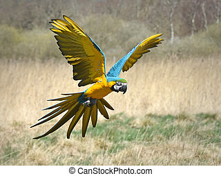 Blue and yellow Macaw in flight over its habitat