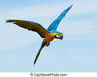 Blue and yellow Macaw (Ara ararauna) - Blue and yellow Macaw...