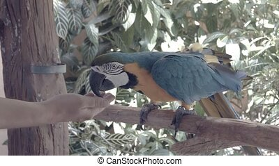 """Blue-and-yellow macaw (Ara Ararauna), eating from the hand"""