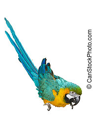 Blue-and-Yellow Macaw Ara ararauna on a wihte background