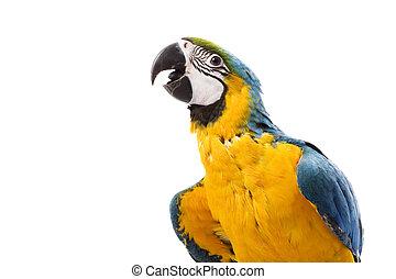 Blue-and-yellow Macaw (Ara ararauna) on white background.