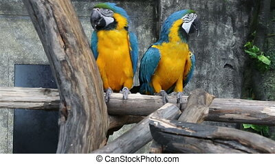 Blue-and-Yellow Macaw, Ara ararauna