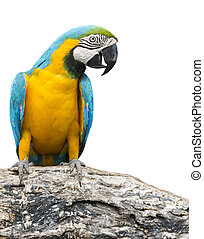 blue and yellow macaw bird perching on tree branch isolate white background