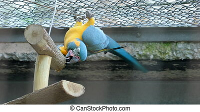 Blue And Yellow Macaw Hanging Upside Down
