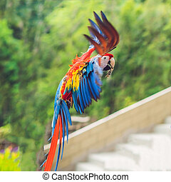 Blue and yellow Macaw in flight against the background of trees