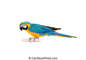 Blue and Yellow Macaw - Ara Ararauna, perched on pole on the white background
