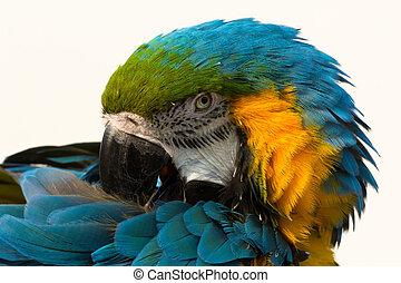Blue-and-yellow macaw, parrot Ara ararauna