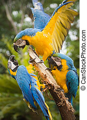 Three blue and yellow macaw fighting and competing for perch