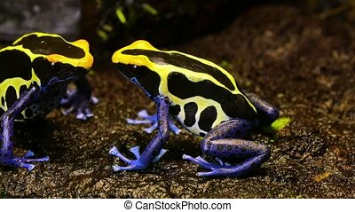 Blue and Yellow Poison Dart Frog Couple - These amphibians...