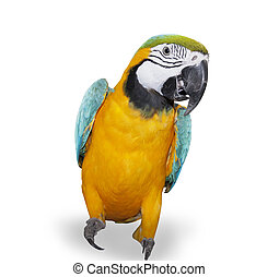 blue-and-yellow, sur, macaw, fond blanc