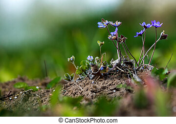 Blue anemones on the green grass.
