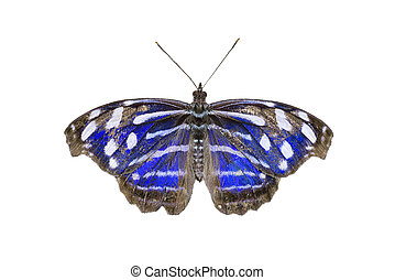 Blue-banded Purplewing Butterfly