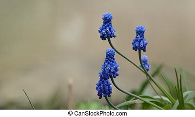 blue bell flowers shaped leafy plant close up blooming...