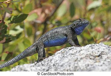 Western Fence Lizard (sceloporus occidentalis) -...