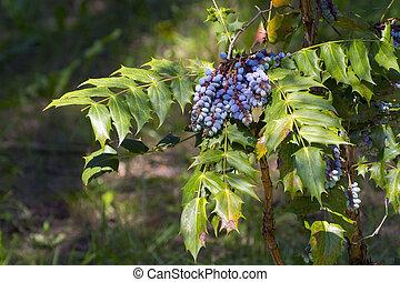 Oregon grape (Mahonia aquifolium) - Blue berries of Oregon...
