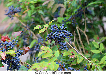 Blue berries on branches in the forest