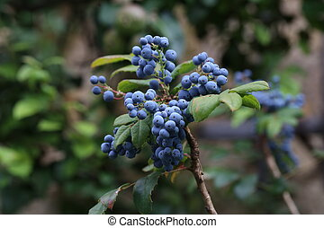 Blue berries on branches