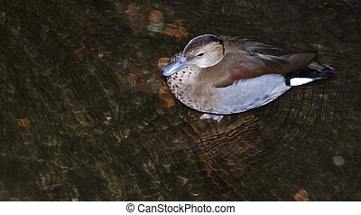 Blue billed duck