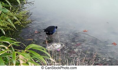 Blue bird at the border of a lake ready to fly. Slow motion.
