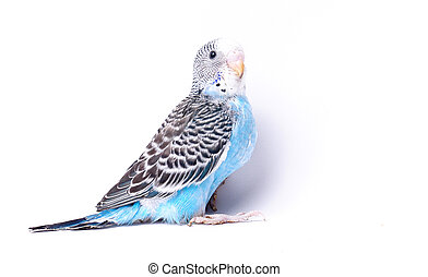 bird - blue, black and white bird on blank background...