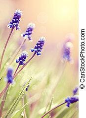 Blue blossoming muskari in dew drops