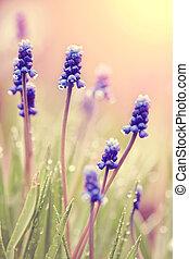 Blue blossoming muskari