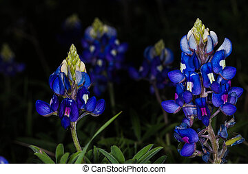 Blue Bonnet - A Texas Bluwbonnet flower.