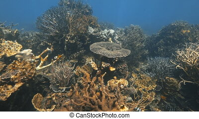 A scenic slow motion shot of a blue tipped branching coral reef.