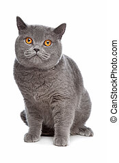 blue British Shorthair cat in front of a white background