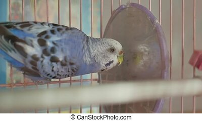 blue budgerigar going out of his cage bird - budgerigar...