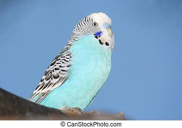 Blue Budgie bird Portrait