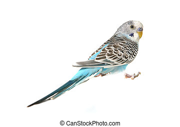 Blue Budgie Parakeet Bird - Budgie Parakeet Bird on White...