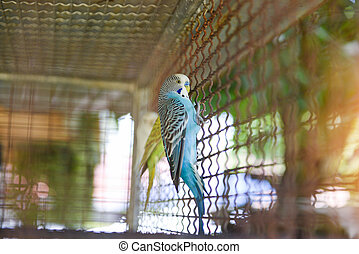 Blue budgie parrot pet bird or budgerigar parakeet common in the cage bird farm