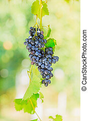Blue bunches of grapes in the sunshine