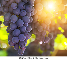 Blue bunches of grapes in the sunshine. Harvest time