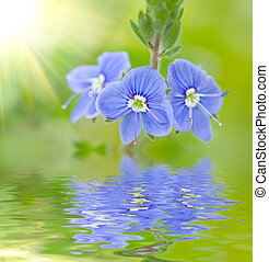 Blue  buttercup -  Beautiful  buttercup on a green grass