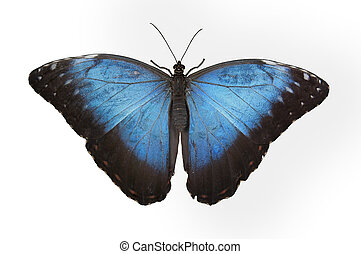 blue butterfly isolated in white background