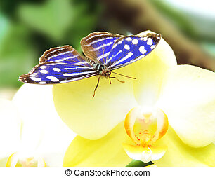 Blue butterfly on a yellow orchid