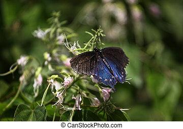 Blue Butterfly on Penstamon