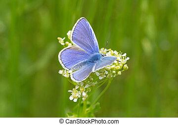 blue butterfly on white flower