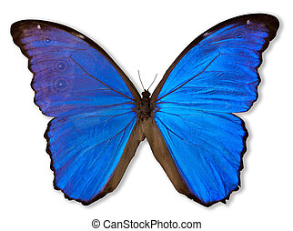 Beautiful blue butterfly, morpho didius, from Peru. Clipping path included.