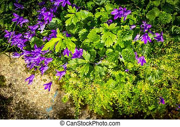 Blue campanula beautiful flowers in the garden