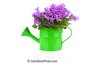 blue campanula flower in a green water-pot isolated on white.
