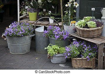 Blue Campanula flowers on the market for sale